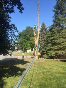 Tree Being Cut Down and Lowered