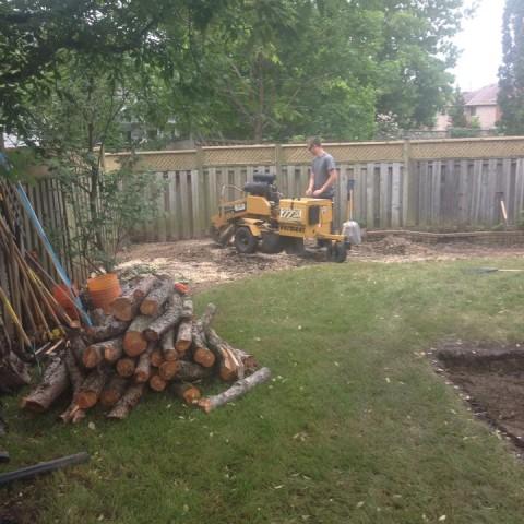 Austrian Pine Removal