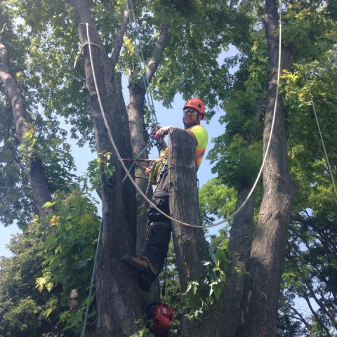 Maple Removal in Aurora