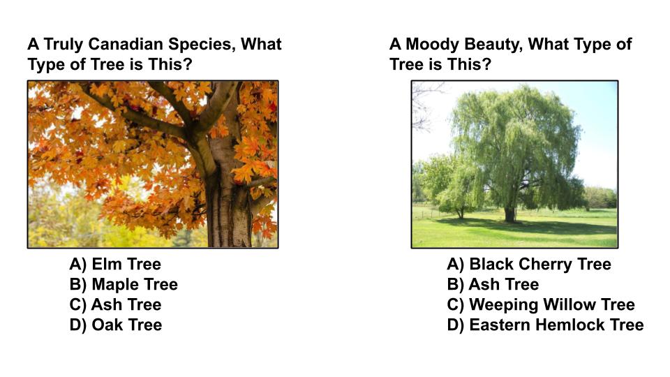 tree type quiz 3 sequoia treescape york region arborist