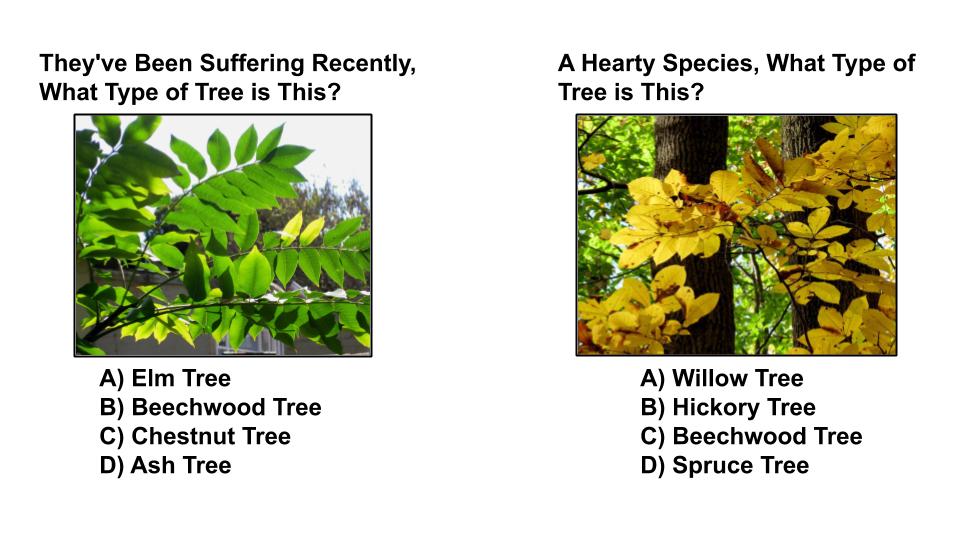 tree type quiz 6 sequoia treescape richmond hill arborist